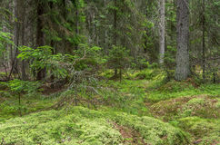 Green mossy forest with dead tree Stock Image