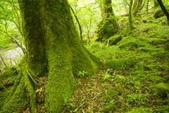 Green mossy tree root. And green ground under fresh green forest Royalty Free Stock Photos