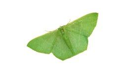 Green moth stock photo