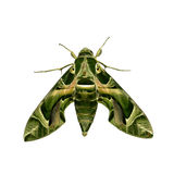 Green moth Stock Photos