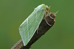 Green moth Royalty Free Stock Photos
