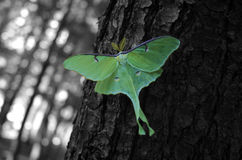 Green Moth. A green moth set on a black and white background Royalty Free Stock Photos