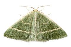Green moth chlorissa etruscaria stock photos