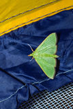 Green moth Royalty Free Stock Photography