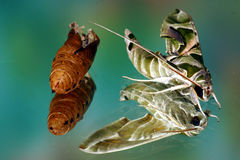 Green moth cocoon Stock Image