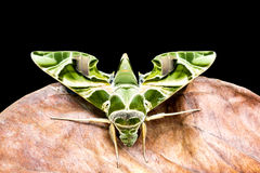 Green moth is on dry leaf Stock Photos