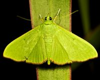 Green moth Stock Photo