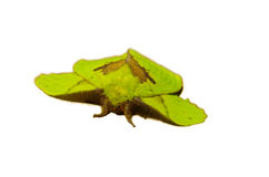 Green moth Stock Image