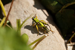Green Mountain Grasshopper Miramella alpina Royalty Free Stock Photo