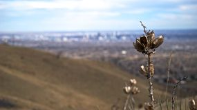 Green Mountain Overlooking Denver. Plant life with Denver, Colorado in the background Royalty Free Stock Photography