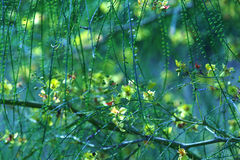 Green, much branched shrub. Flowering. Long branches with tiny leafs Stock Images