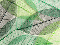 Green mulberry leaves skeletons Royalty Free Stock Photo