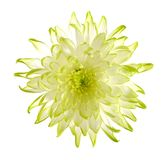 Green mum flower Stock Images