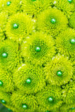 Green Mum Flowers Stock Photos