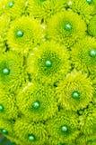 Green Mum Flowers Stock Photos