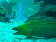 Green murena (moray). A large green murena in a public aquarium in genova Royalty Free Stock Images