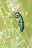 Green muscae hispanicae Stock Photography