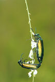 Green muscae hispanicae Royalty Free Stock Images