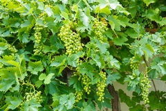 Green Muscat Ottonel grape clusters Stock Photography
