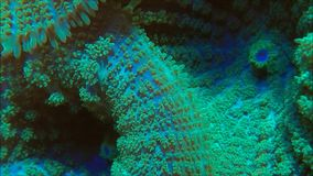 Green Mushroom Coral. Colony slowing under water stock footage