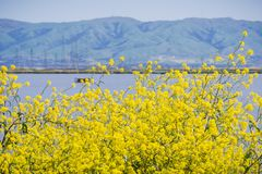 Green mustard flowers, Mission Peak in the background, south San Francisco bay, Sunnyvale, California stock images