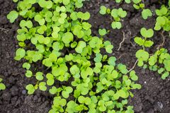 green mustard sprouts growing in a garden stock photo
