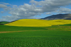 GREEN 'N GOLD. Canola fields near Caledon ,South Africa Stock Images