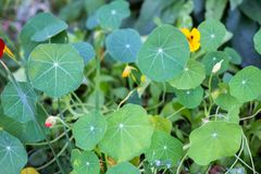 Green nasturtium leaves stock photo