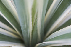 Green natural abtract of aloe cactus. Closeup of green natural abtract of aloe cactus Royalty Free Stock Photos