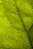 Green natural background. Detail of a Hedera helix(common ivy) leaf Stock Photography