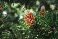 A green natural background with close-up view of a branch of pine flowering at the forest on sunny day, Kaliningrad region Royalty Free Stock Image