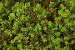 Green natural background from coniferous tree branches Stock Images