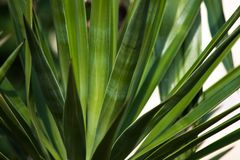 Green natural background of the leaves of a Yucca plant in the garden stock photos