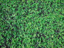 Green natural background of small leaves. Greenery summer or spring grass carpet texture. Blueish solid leaf surface horizontal p. Attern stock photography
