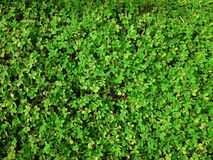 Green natural background of small leaves. Greenery summer or spring grass carpet texture. Greenish solid leaf surface horizontal. Pattern royalty free stock photos