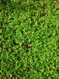 Green natural background of small leaves. Greenery summer or spring grass carpet texture. Greenish solid leaf surface vertical pa. Ttern royalty free stock photography