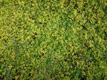 Green natural background of small leaves. Greenery summer or spring grass carpet texture. Yellowish solid leaf wall pattern. stock image