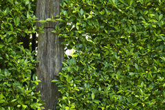 Green natural bush fence or boundary wall Stock Images