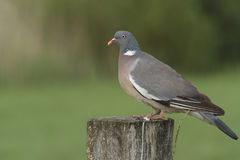 Wood pigeon sitting on a pole. In a green natural environment, is a wood pigeon on a wooden post Royalty Free Stock Photo