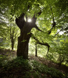Green natural forest with giant old tree Stock Photos
