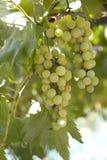 Green natural grapes. Bio food royalty free stock images