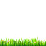 Green, natural grass border with white daisies, camomile flower and small red ladybug on white background. Template for. Your design or creativity Royalty Free Stock Photography
