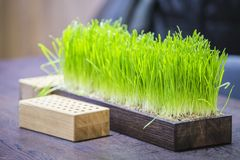 Green natural lawn grass in a wooden pot in the office royalty free stock photos