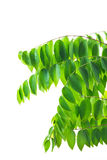 Green Natural Leaves Royalty Free Stock Photo