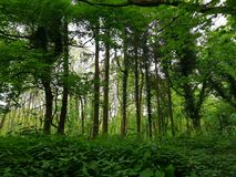 Kedlston woodlands royalty free stock photography