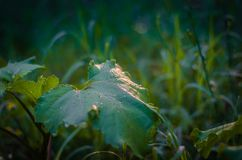 Green natural semi-blurred background of field grasses and burdock leaf. Sun glare in drops of dew. Wet leaf of a plant close up. Forest walk on a warm summer royalty free stock photos