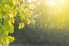 Green natural view of Close up green leaves in garden with sunlight in the morning. stock photos