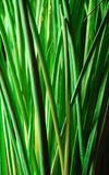 Green nature. Closeup of green bamboo grass royalty free stock images