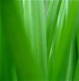 Green nature. Iris leaves closeup - CD size royalty free stock image