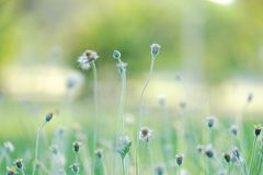 Silhouette sunset with wild grass flower blossom in a garden and bokeh light,softly style. Green nature backdrop royalty free stock photography